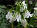Ail à trois angles, Ail triquètre, Allium triquetrum