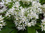 Ail des ours, Ail des bois, Ail à larges feuilles, Allium ursinum