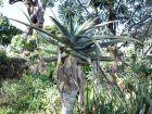 Alo�s en arbre g�ant,  Aloe pilansii