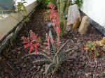 Aloe variegata en fleurs dans une rocaille sèche extérieure dans le sud méditerranéen