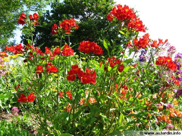 Des alstroemères rouges du plus bel effet dans le massif de fleurs