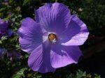 Hibiscus bleu d'Australie, Alyogyne huegelii