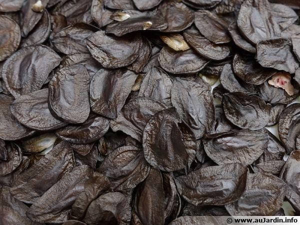 Graines d'amaryllis