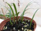 Jeunes pousses d'amaryllis après semis dans un bon terreau