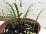 Multiplier les amaryllis par semis
