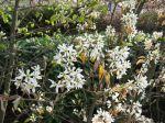 Fleurs de l'amélanchier