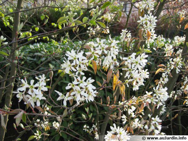 Fleurs de l'am�lanchier