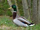 Le colvert, un canard très ornemental