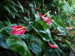 Anthurium, Anthure, Flamant rose, Langue de feu