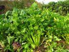 Celeri branche,Céleri à côtes, Apium graveolens var dulce