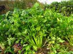 Celeri branche, Apium graveolens var dulce