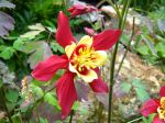 Fleur de l'ancolie des jardins