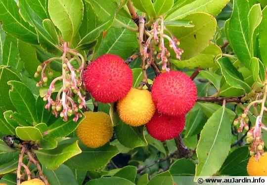 http://static.aujardin.info/cache/th/img9/arbutus-unedo-fruit-540x375.jpg