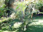 Palmier de Formose, Palmier de Taiwan, Palmier à sucre nain, Arenga engleri