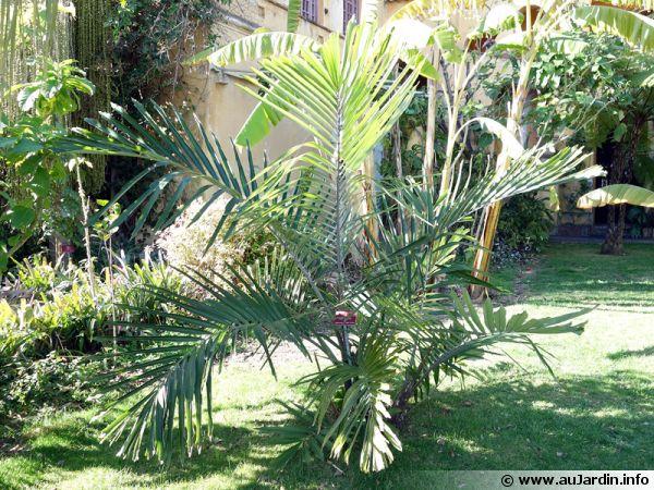 Palmier de formose palmier de taiwan palmier sucre for Palmier nain exterieur