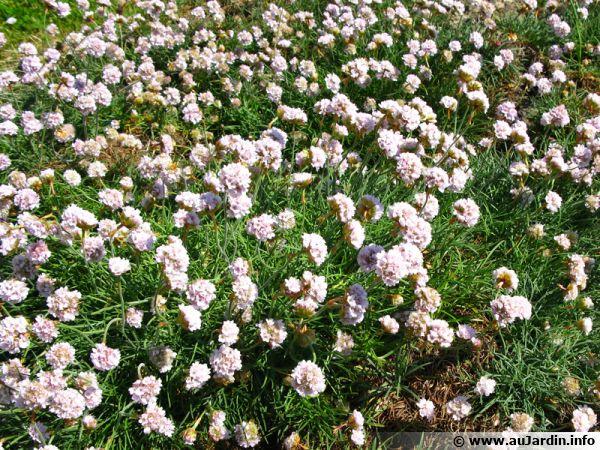 Pour remplacer la pelouse en zone venteuse et au plein soleil dans les régions du Sud, nul n'a son pareil que le gazon d'Espagne (Armeria maritima)