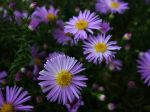 Aster buissonnant, Aster nain, Aster touffu, Symphyotricum dumosum