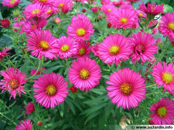 Aster conseils de culture for Au jardin info