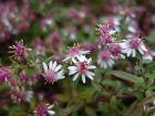 Aster à fleurs latérales, Aster calicot, Symphyotrichum lateriflorum