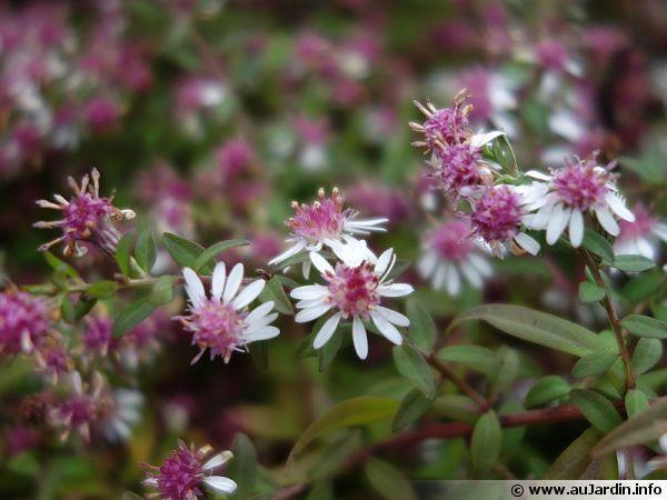 Aster à fleurs latérales, Aster calicot, Symphyotrichum lateriflorum 'Horizontalis', Aster lateriflorus 'Horizontalis'