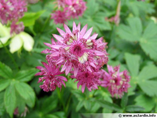 L'astrance Claret à la fleur délicate et gracieuse