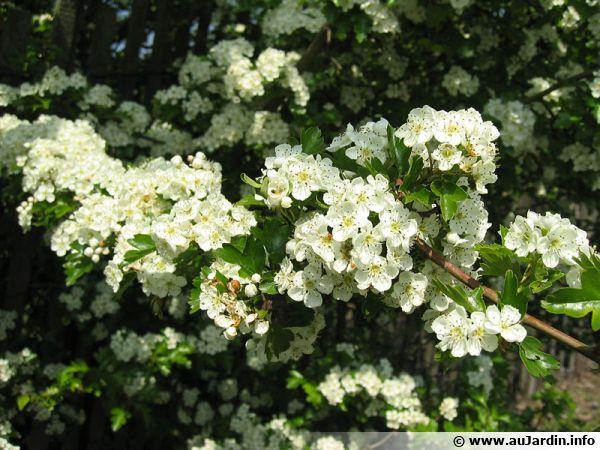 10 Arbustes Melliferes Pour Aider Les Abeilles