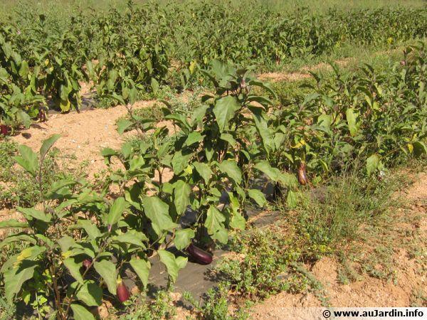 Des rangs de plants d'aubergines dans le var sur l'île de Porquerolles