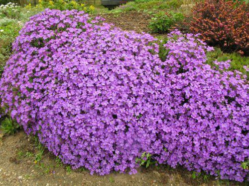 Aubriete aubrieta planter cultiver multiplier - Plantes vivaces fleuries ...