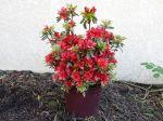 La culture des azalées et rhododendrons en pots