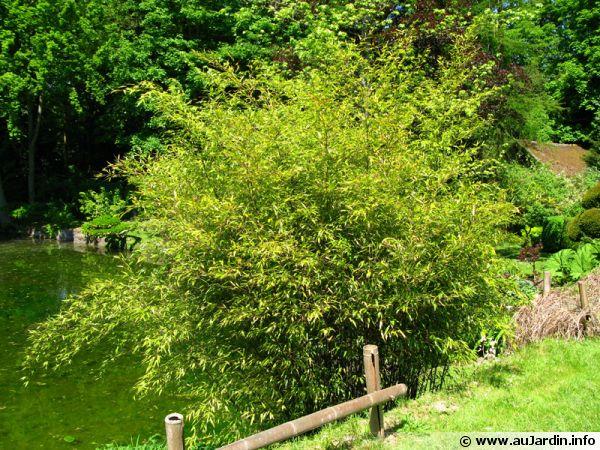 Des bambous au bord de l'eau