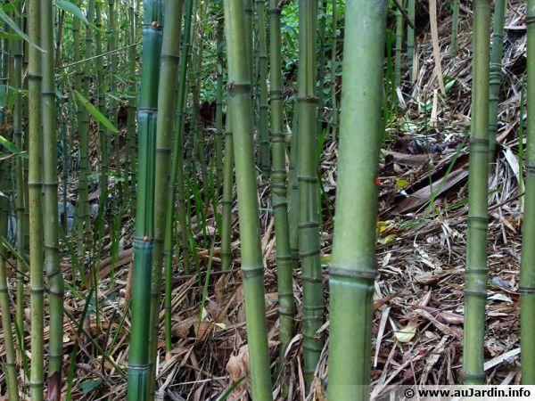 Les bambous sont des plantes à rhizomes, traçants pour certains