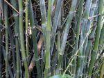 Bambusa ventricosa 'Mc Clure'