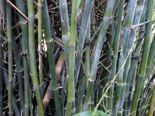 bambou ventre de bouddha  bambusa ventricosa   planter