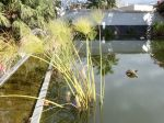 Hiverner les plantes de bassin