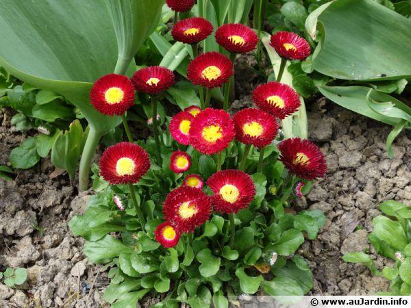 P�querette, Fleur de P�ques, Bellis perennis, P�querette des pr�s