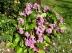Plante des savetiers, Bergénie à feuilles cordées, Bergenia cordifolia