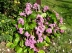 Plante des savetiers, Berg�nie � feuilles cord�es, Bergenia cordifolia