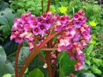 Fleurs de Bergénia, Plante des savetiers
