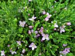 Boronie à feuilles crénelées, Boronia anis, Boronia crenulata