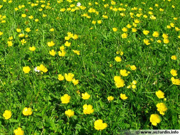 Boutons d'or envahissant une pelouse
