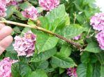 10 arbustes à bouturer cet été