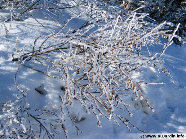 Des branches sous la neige et la glace, le froid est là !