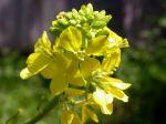 Moutarde noire, Sénevé noir, Brassica nigra