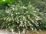 La taille des petits arbustes