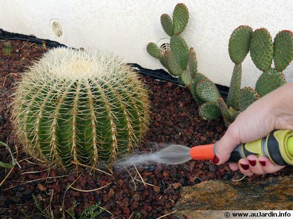 Les cactus adorent l'eau l'été, arrosage d'une rocaille de succulentes