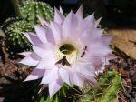 Comment faire refleurir un cactus?