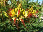Fleur de Caesalpinia gilliesii, Oiseau de paradis jaune