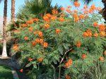 Petit flamboyant, Caesalpinia pulcherrima