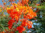 Fleur de Caesalpinia pulcherrima