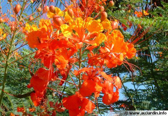Petit flamboyant, Orgueil de Chine, Fleur de paon, Macata, Baraguette